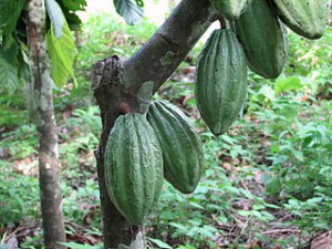 benefits of chocolate  320px-Theobroma_cacao_Fruit_Linne