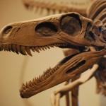 Herrerasaurus_Skull_FMNH