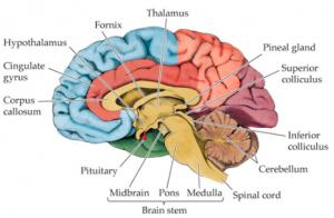 brain hypothalamus